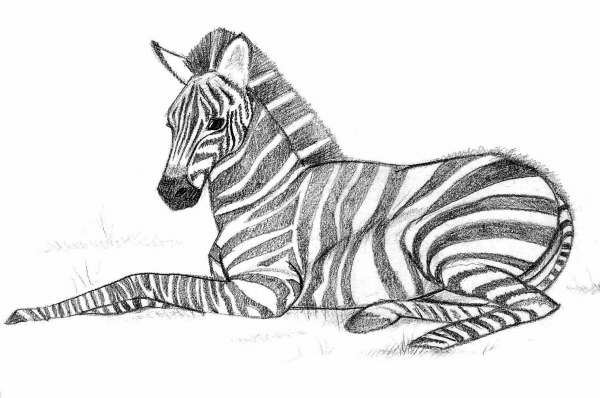 zebra coloring pages - Zebra Coloring Pages
